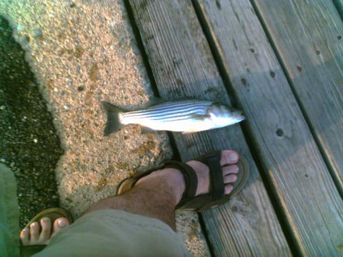 Baby striped bass who is lmw94002 for Baby bass fish